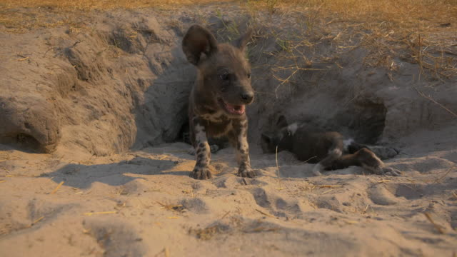 vídeos de stock e filmes b-roll de mouth of african wild dog den as a pup runs in and another emerges and walks very close to camera - cinco animais