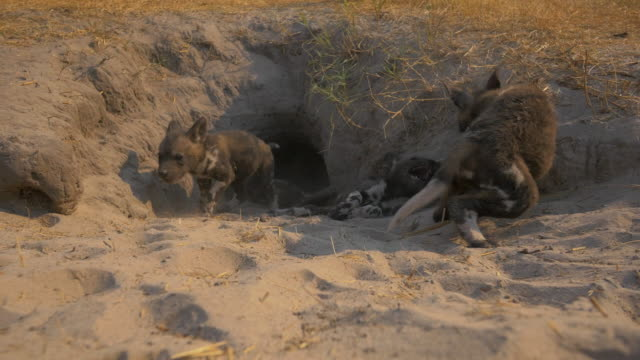 vídeos de stock e filmes b-roll de mouth of african wild dog den as a pup rushes in and play fights with others - criação animal