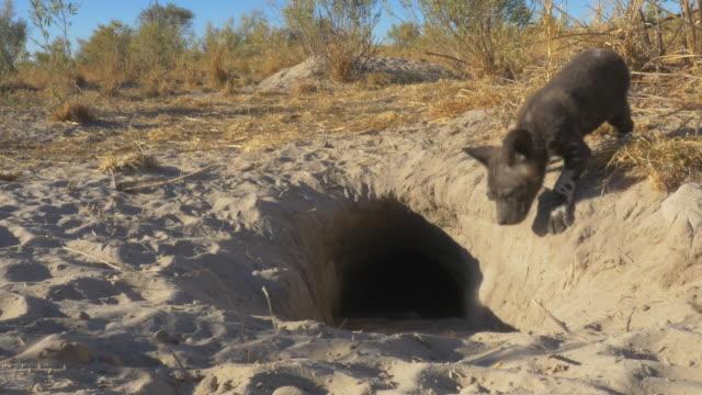vídeos y material grabado en eventos de stock de mouth of african wild dog den as pups return to it and dig - animal behaviour