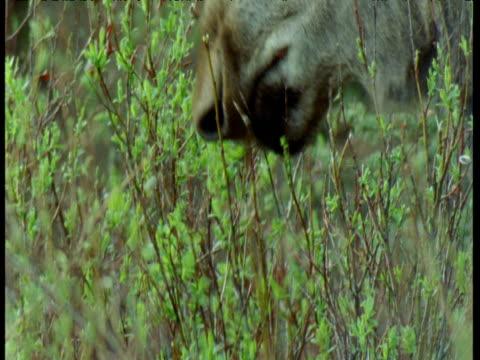 mouth of moose browsing on bush, alaska - 小枝点の映像素材/bロール
