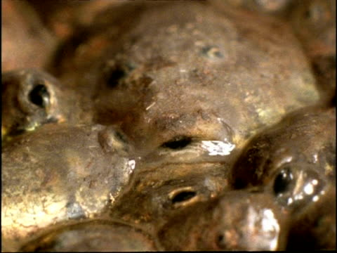 BCU Mouths of dying Spadefoot Toad (Scaphiopus) tadpoles in mud, USA