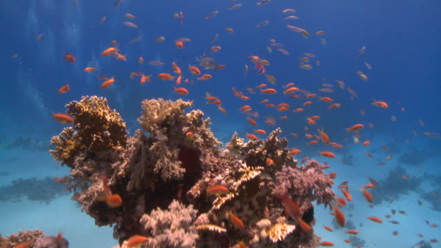 stockvideo's en b-roll-footage met move past coral with coral goldfish (anthias squamipinnis) to find divers on sea floor  - grote groep dieren