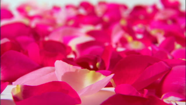 move right across pink and red rose petals. - rose petals stock videos and b-roll footage