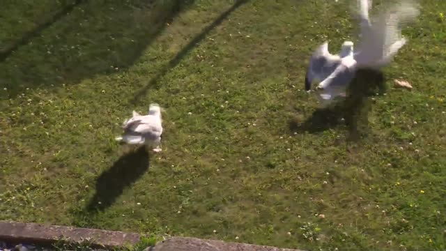 move to tackle aggressive seagull behaviour location unknown seagulls in garden - aggression stock videos & royalty-free footage