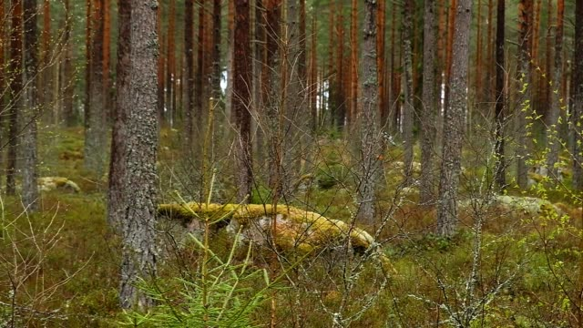 movement in a coniferous forest in dim light in spring - moos stock-videos und b-roll-filmmaterial