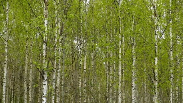 movement in a forest with birch in spring - 硬木の木点の映像素材/bロール