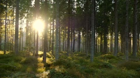 movement in a spruce forest with low standing sun in spring - pine tree stock videos & royalty-free footage