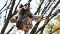 Movement of giraffe mouth