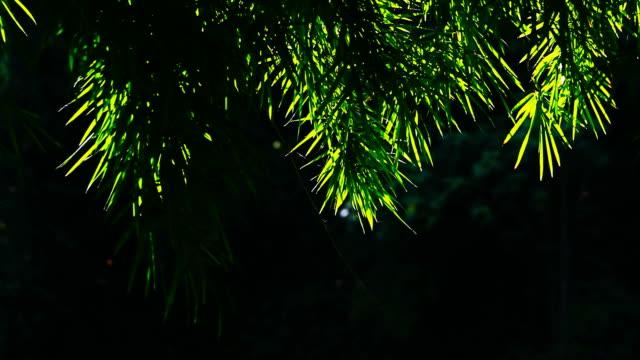 vídeos de stock e filmes b-roll de movimento do bambu leafs - rebento de bambu