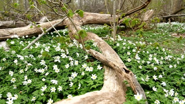 movement out with a branch on the ground surrounded by wood anemones in the spring - root stock videos & royalty-free footage