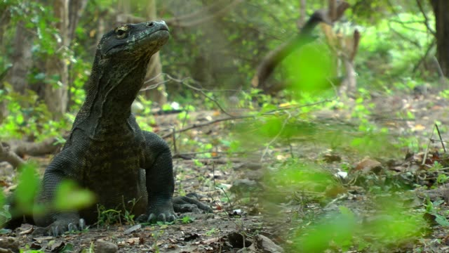 movement through the leaves while komodo dragon observes the camera in komodo archipelago - insel komodo stock-videos und b-roll-filmmaterial