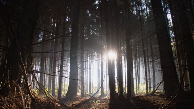 Moving among dark trees in coniferous forest
