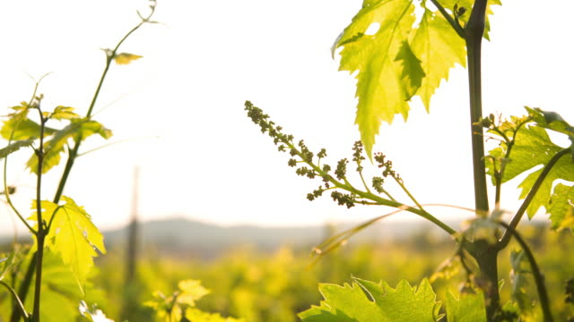 vídeos y material grabado en eventos de stock de moving around a young grape during the fruit setting season. - hoja de la vid