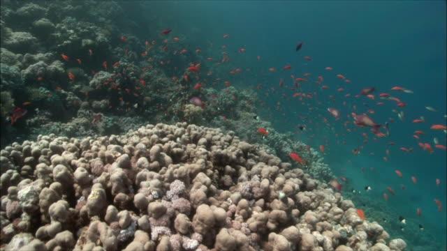 POV Moving around corals with Coral goldfish (Pseudanthias squamipinnis) and Chromis (Chromis dimidiata) in Red Sea / Sharm-el-Sheikh, Egypt