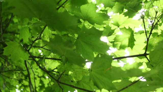 moving around green maple tree - leaf stock videos & royalty-free footage