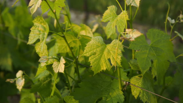 moving around some vine's foliage with warm sunset light. - grape leaf stock videos and b-roll footage