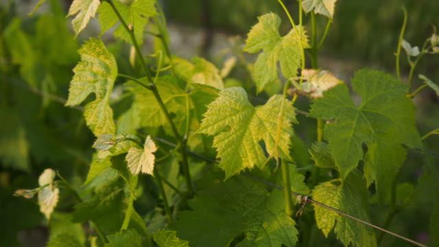 vídeos y material grabado en eventos de stock de moving around some vine's foliage with warm sunset light. - hoja de la vid