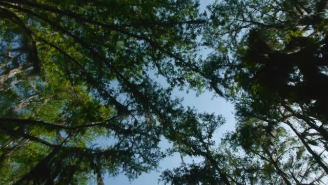 moving boat pov, looking up at canopy of cypress trees with spanish moss, blue sky, caddo lake, on the texas/louisiana border - 樹冠点の映像素材/bロール