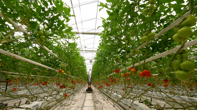 moving camera in greenhouse - tomato stock videos & royalty-free footage
