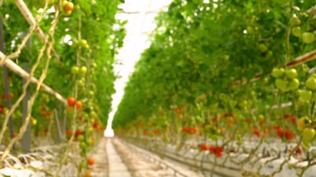 vídeos de stock, filmes e b-roll de câmera movente na estufa - tomato