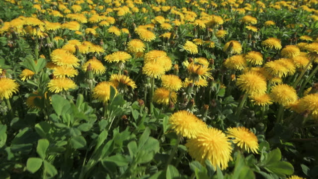 moving forward on dandelion meadow. bavaria, germany. - wiese stock-videos und b-roll-filmmaterial