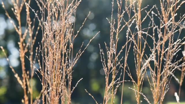 Moving grasses-Autumn