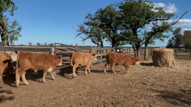 moving herd of beef cattle calves - livestock stock videos & royalty-free footage