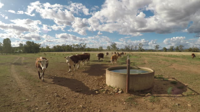 moving herd of cattle - grass fed beef cattle hereford heifers - arid stock videos & royalty-free footage