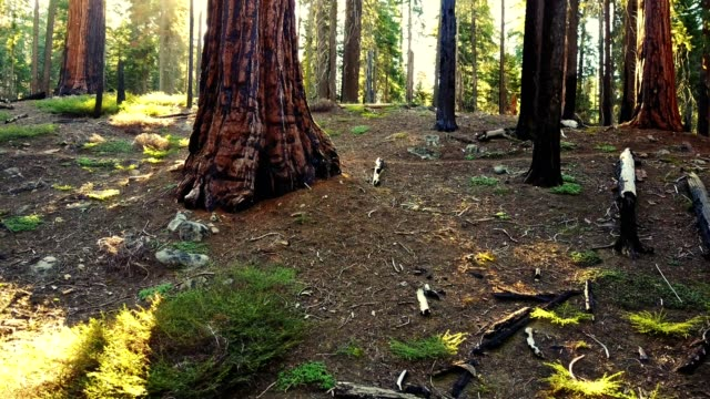 moving inside the sequoia national park - sequoia stock videos and b-roll footage