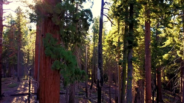 moving inside the sequoia national park - sequoia stock videos & royalty-free footage