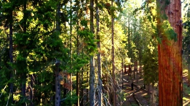 vídeos de stock, filmes e b-roll de movendo-se dentro do parque nacional sequoia - sequoia sempervirens
