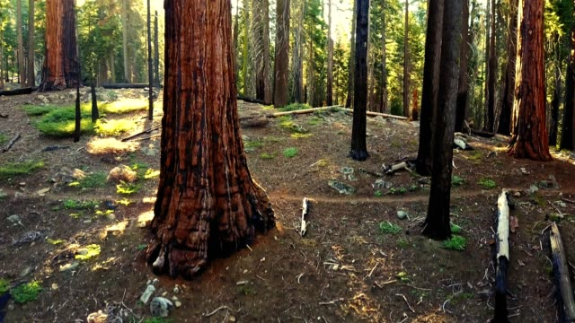 moving inside the sequoia national park - sequoia national park stock videos & royalty-free footage