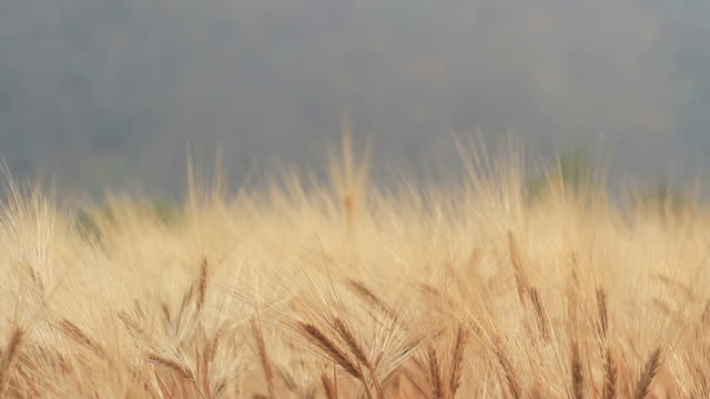 Moving of Barley Field