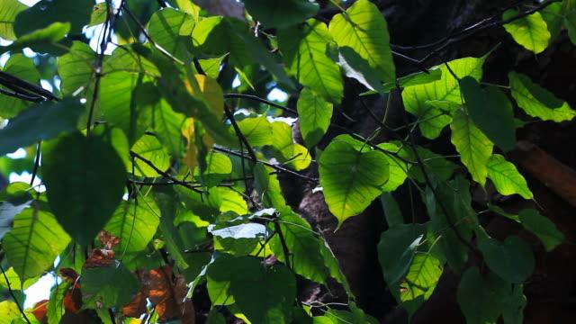 HD : Moving of Boddhi Tree Leafs