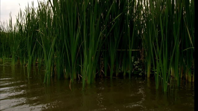 montage moving on water away from cattails, with gentle wake bobbing behind - bulrush stock videos & royalty-free footage