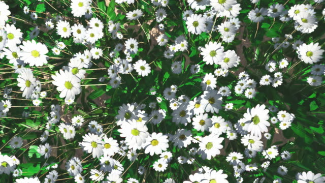 moving over a field of daises