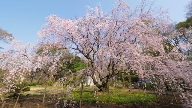 Moving shot Cherry Blossoms full bloom at Rikugien Gardens