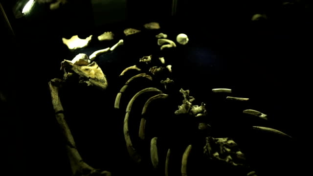 moving shot skeletal bones on display/ muldersdrift/ south africa - archaeology stock videos & royalty-free footage