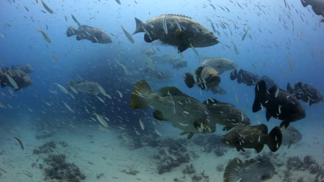 a moving shot through a large school of goliath gorupers and bait fish - grouper stock videos & royalty-free footage