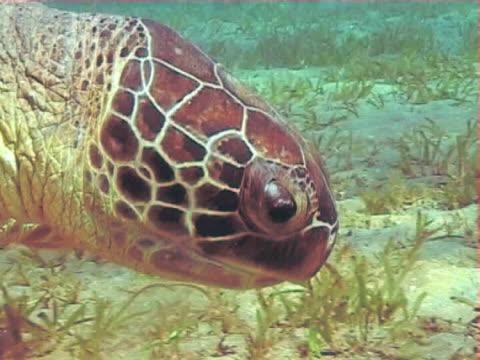 vídeos de stock e filmes b-roll de moving shot towards a green turtle with remoras against blue water feeding on seagrass ws - sargaço