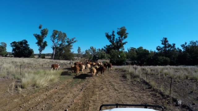 moving the cattle.  cattle muster of grass fed beef cattle - grass fed stock videos & royalty-free footage