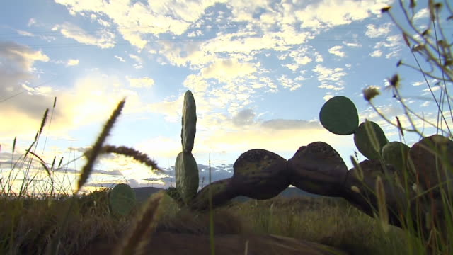 MS LA POV Moving thorugh grass towards fallen down cactus / Eastern Cape, South Africa