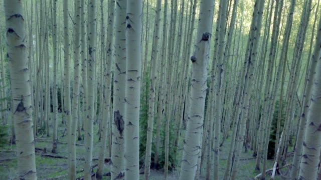 moving through aspen tree forest - aspen tree stock videos & royalty-free footage