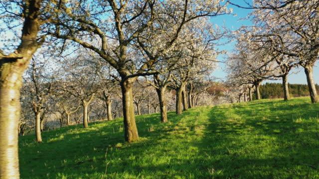 im frühjahr durch blühende kirschbaumplantagen - obstbaum stock-videos und b-roll-filmmaterial