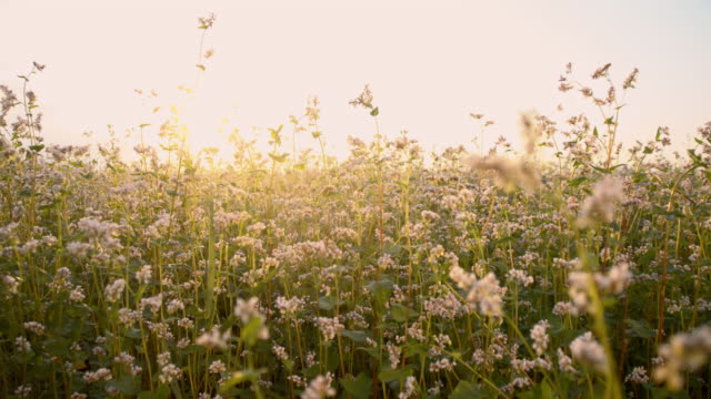 SLO MO Moving through buckwheat field