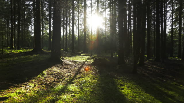 Moving Through Coniferous Forest In Sunlight Gimbal Shot
