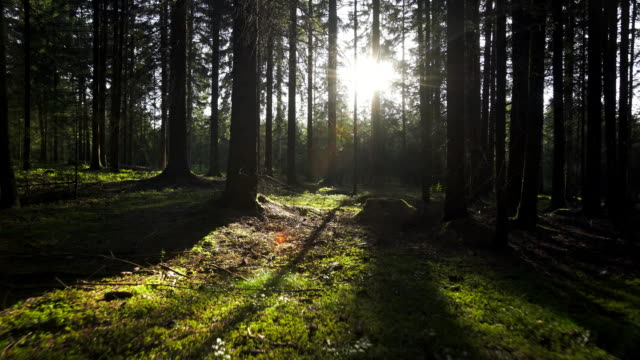 GIMBAL Moving Through Coniferous Forest In Sunlight