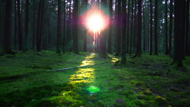 moving through coniferous forest in sunlight - baviera video stock e b–roll
