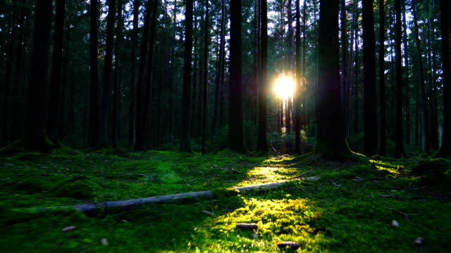 moving through coniferous forest in sunlight - walking point of view stock videos & royalty-free footage