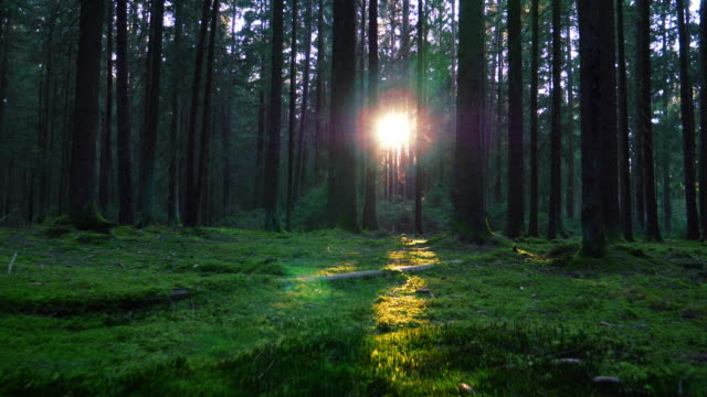 moving through coniferous forest in sunlight - tree stock videos & royalty-free footage